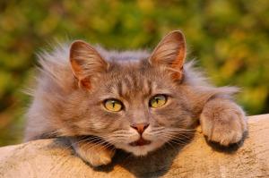 Auch der Pelz von Hauskatzen wird als billiges Material verarbeitet.