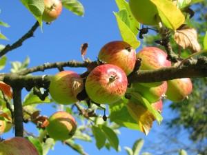 Apfel frisch vom Baum