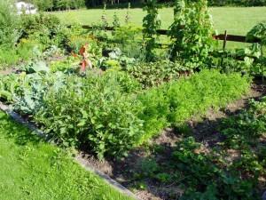 Samenfestes Saatgut keimt auch im folgenden Jahr wieder