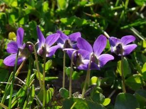 wald-violet-51414_640_pixa_Hans