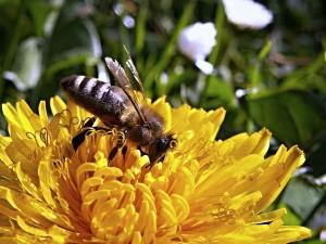 Bio-Pflanzen sind für Bienen eine lekcere Mahlzeit