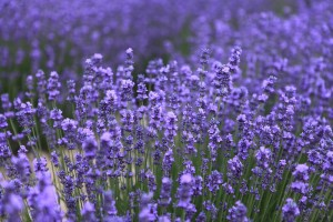 lavender-543728_1280.jpg_JohnBIAN