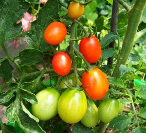 red-green-tomato-837966_1280_tappancs